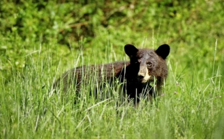 Black bears are established in southeastern and east-central Oklahoma, but sightings are possible anywhere in the eastern half of the state and the western tip of the Panhandle. (USFWS)